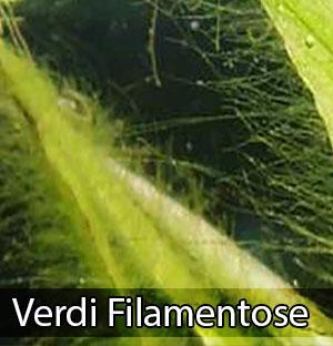 Come eliminare togliere alghe filamentose verdi acquario for Alghe filamentose laghetto