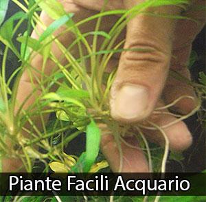 Piante facili primo acquario semplici neofiti for Piante da acquario